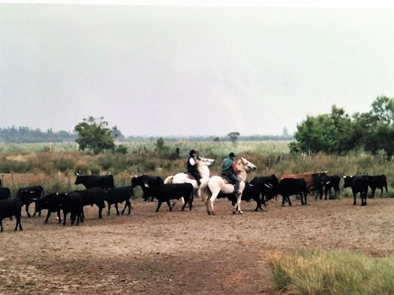 Gardiane de taureau